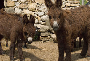 Donkeys in Portugal
